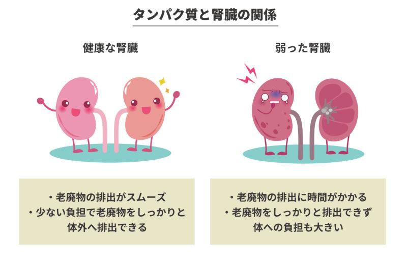 タンパク質と腎臓の関係