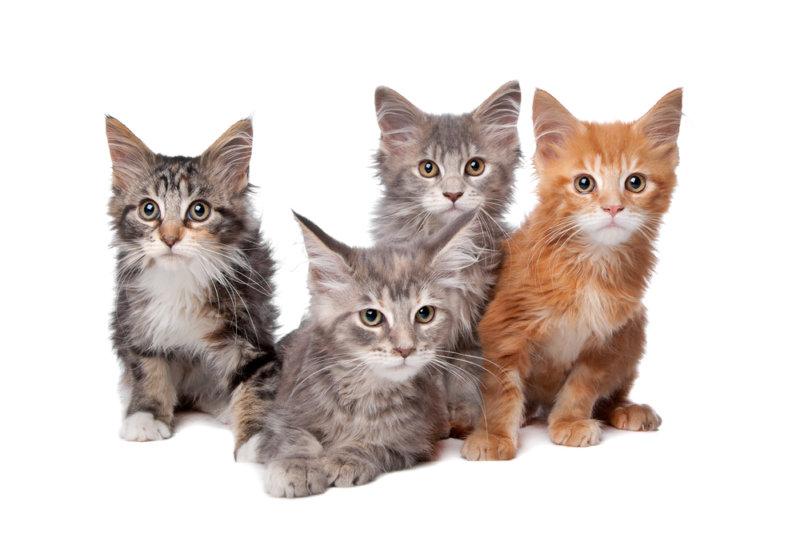 メインクーンの値段相場:子猫は15~30万円